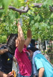 Kids help to put little paper umbrellas around the special Takao grapes.