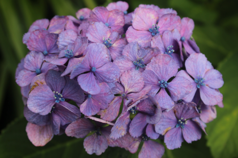 Hydrangeas Close Up