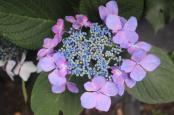 Hydrangeas Close Up