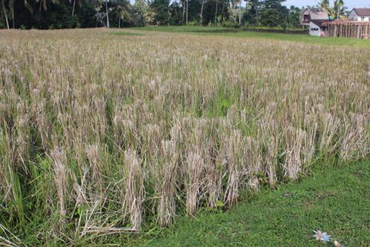 Cut Rice