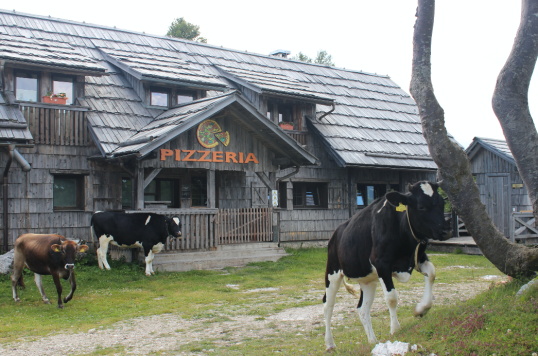 Cows at Pizzeria.png