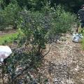 Fields of Blueberries