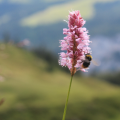 Bee and PinkFlower