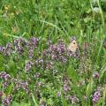 Butterfly on PurpleFlowers