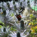Butterfly on Thistle LikeFlower