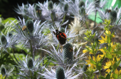 Butterfly on Thistle Like Flower