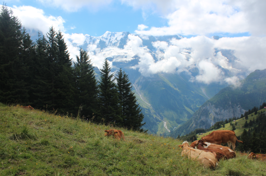 Cows and View