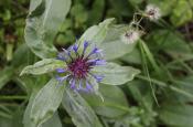 Purple Stringy Flower
