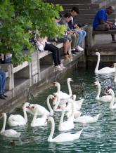 Close up of swans at Lake Zurich