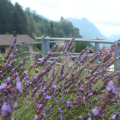 Vaduz Lavender