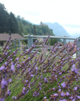 Lavender in Vaduz, Castle in background
