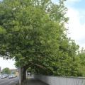 Zurich Tree