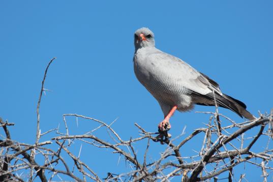Bird - Falcon?