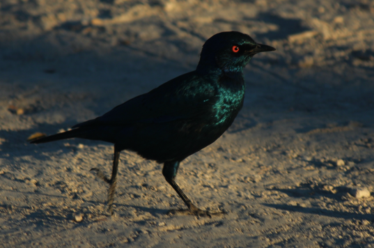 Bird - Shimmery