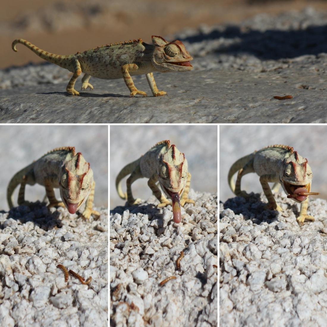 Chameleon Feast.JPG