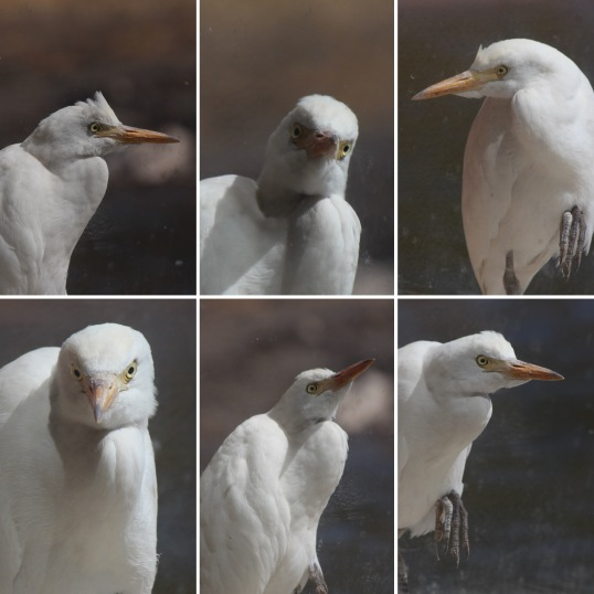 Egret Faces.JPG