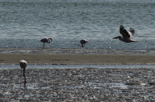 flamingos and pelican