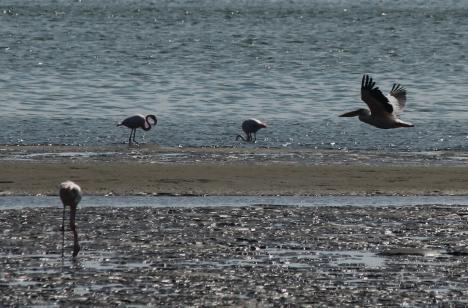 flamingos and pelican