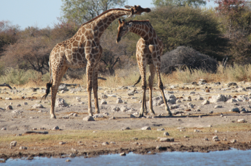 Giraffe dancing 1