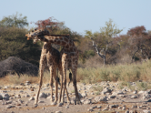 Giraffe dancing 2
