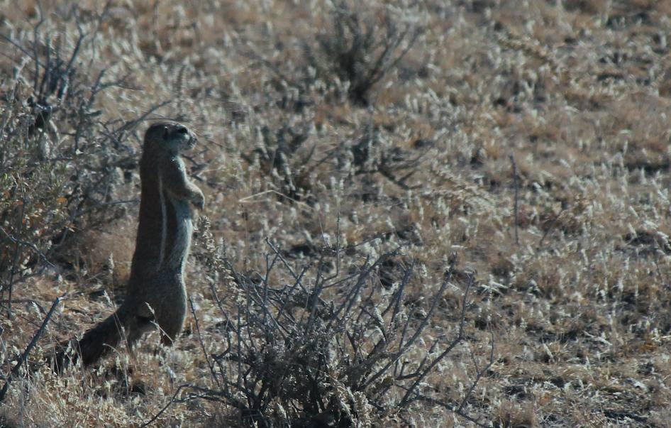 Ground Squirrel.png