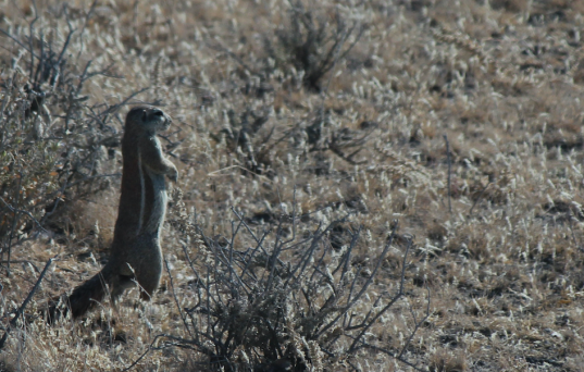 Ground Squirrel.png