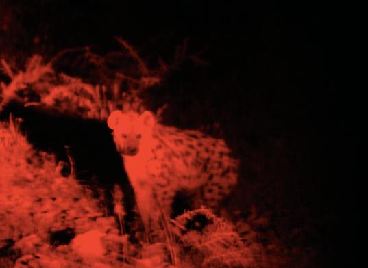 Hyena Red Light