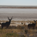 Kudu and salt pan