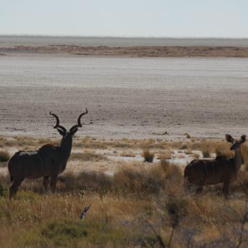 Kudu and salt pan