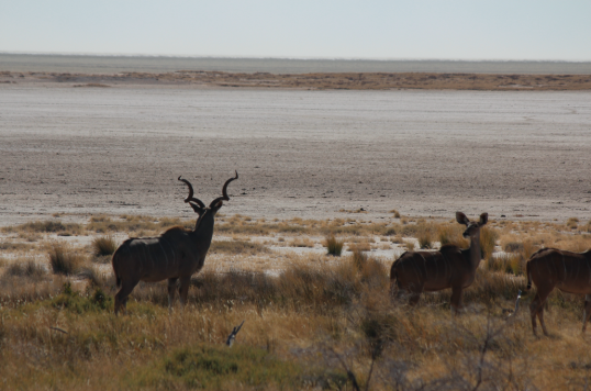 Kudu and salt pan.png