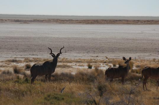Kudu and salt pan.png
