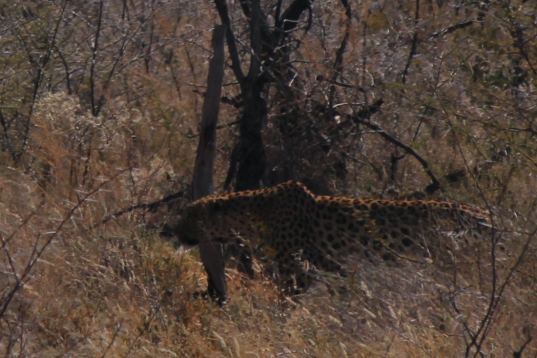 Leopard walking.png