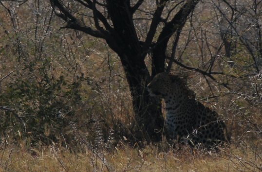 Leopard watching.png