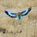 Lilac Breasted Roller in flight from back