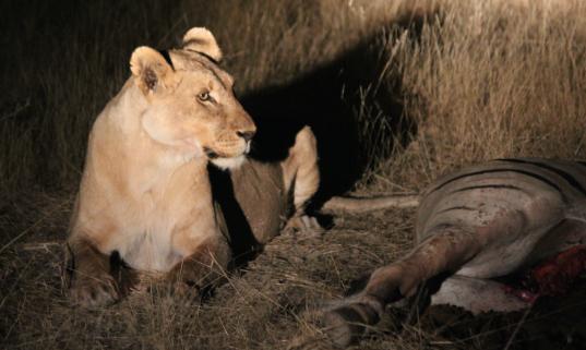 Lion gazing over carcass