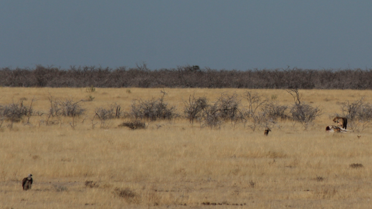Lion Jackal Vulture dueling over zebra carcass.png
