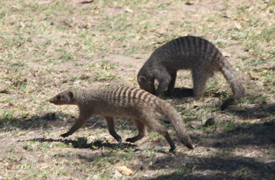 Mongoose.png