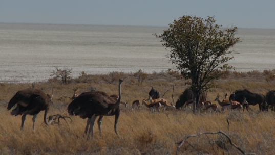 Ostrich Springbok Wildebeest and salt pan