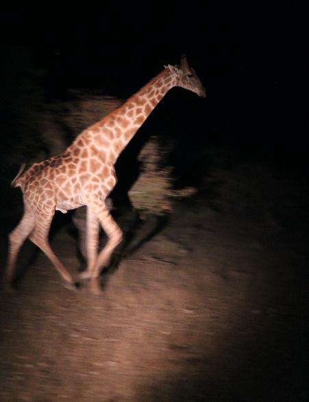 Running Giraffe.png
