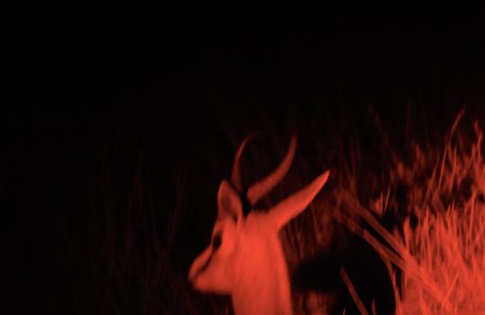 Springbok.png