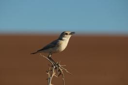 Trac trac chat bird chirping