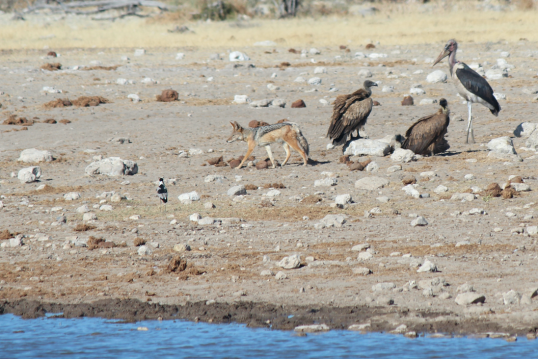 Ugly bird with vultures and Jackal and other bird.png