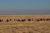 Wildebeest Line