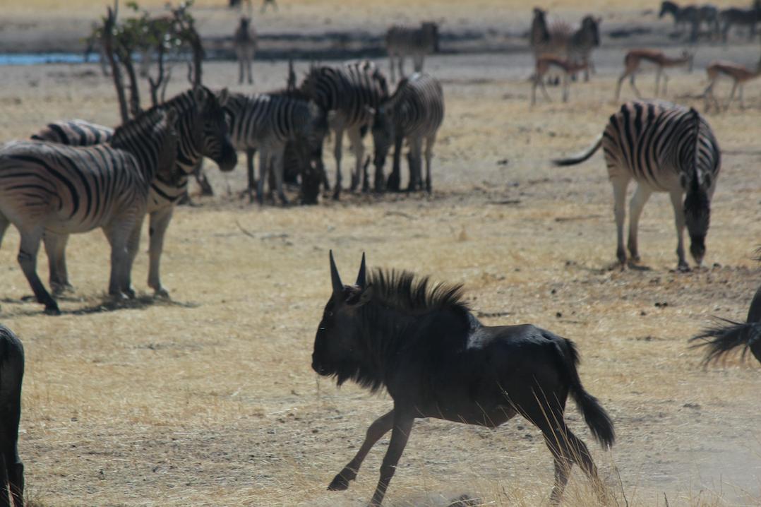Wildebeest - running.png