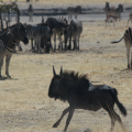 Wildebeest – running