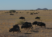 Wildebeests in motion
