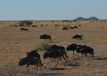 Wildebeests in motion