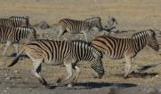 Zebra running