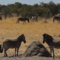 Zebras and TermiteMount