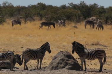 Zebras and Termite Mount